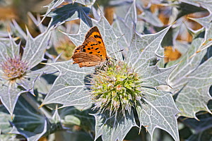 Small copper (Lycaena phlaeas) butterfly nectaring on Sea holly (Eringium maritimum), Dee Estuary near Hoylake, Wirral, England, UK. July.  -  Alan  Williams