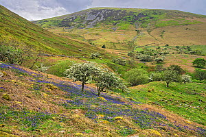 Hawthorn (Crataegus monogyna) blossoming in carpet of Bluebell (Hyacinthoides non-scripta), hills in background, Aber Valley, Gwynedd, Wales, UK. May 2019.  -  Alan  Williams