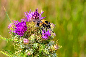 Hoverfly (Volucella bombylans), bumblebee mimic nectaring on Thistle (Cirsium sp) flower. North Wales, UK. June. - Alan  Williams