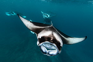 Reef manta ray (Manta alfredi) shoal filter feeding on plankton concentrated by monsoon currents in Raa Atoll, Vandhoo Thila, Maldives. October.  -  Tui De Roy