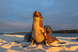 Galapagos sea lion (Zalophus wollebaeki), two on beach, front of sea lion covered in sand, in morning light. Mosquera Islet, Galapagos.  -  Tui De Roy