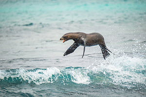 Galapagos sea lion (Zalophus wollebaeki) jumping out of Pacific ocean. Sombrero Chino, Santiago Island, Galapagos.  -  Tui De Roy