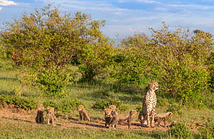 Female cheetah (Acinonyx jubatus) named Silgi (means 'bright future' in Swahili) walking with 7 cubs. Masai Mara National Reserve, Kenya  -  Yashpal Rathore