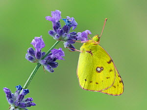 RF - Clouded yellow butterfly (Colias crocea) on lavender, Hertfordshire, England, UK, September. Focus stacked image. Captive. (This image may be licensed either as rights managed or royalty free.)  -  Andy Sands