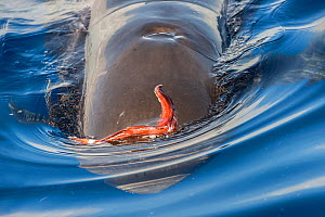 Short-finned pilot whale (Globicephala macrorhynchus) emerging from depths with Squid (Cephalopoda) stuck on head. Tenerife, Canary Islands. - Sergio Hanquet