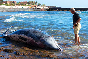 Blainville's beaked whale (Mesoplodon densirostris) washed up dead on beach, man standing in water looking at whale, prior to necropsy to determine reason for death. Tenerife, Canary Islands. 2015...  -  Sergio Hanquet