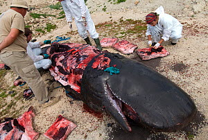 Scientists performing Sperm whale (Physeter macrocephalus) calf necropsy on beach to determine cause of death, whale found drifting at sea. Tenerife, Canary Islands. 2010. - Sergio Hanquet