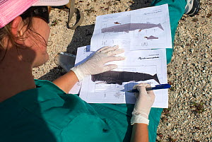 Woman annotating illustrations of Sperm whale (Physeter macrocephalus) during necropsy of dead calf found drifting at sea. Tenerife, Canary Islands. 2010. - Sergio Hanquet