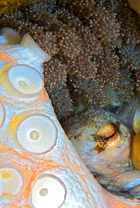 Common octopus (Octopus vulgaris) female laying eggs, tentacles and eye visible amongst eggs. Tenerife, Canary Islands. - Sergio Hanquet