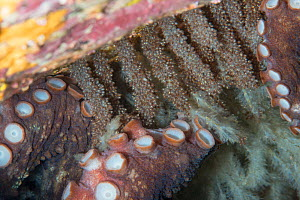Common octopus (Octopus vulgaris) female laying eggs, close up of eggs and tentacles. Tenerife, Canary Islands. - Sergio Hanquet