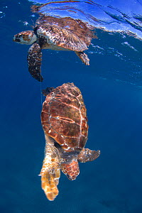 Loggerhead turtle (Caretta caretta), two tangled in nylon fishing line, one dead, the other rescued alive. Tenerife, Canary Islands. - Sergio Hanquet