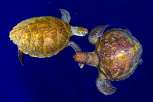 Green sea turtle (Chelonia mydas), two viewed from above. Tenerife, Canary Islands.  -  Sergio Hanquet