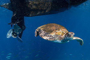 Green turtle (Chelonia mydas) swimming in proximity to boat propeller; propellers are a danger to sea turtles. Tenerife, Canary Islands. - Sergio Hanquet
