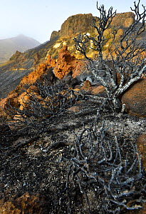 Charred remains of tree following forest fire. Teide National Park, Tenerife, Canary Islands, 2012. - Sergio Hanquet