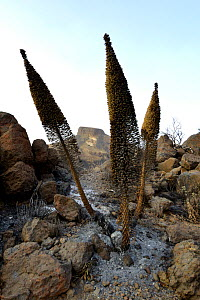 Tower of jewels (Echium wildpretii) plants charred by forest fire, amongst rocks. Ifonche, Teide National Park, Tenerife, Canary Islands, 2012. - Sergio Hanquet