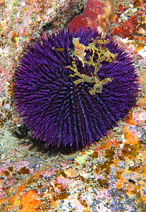 Purple sea urchin (Sphaerechinus granularis). Tenerife, Canary Islands. - Sergio Hanquet