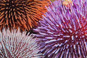 Purple sea urchin (Sphaerechinus granularis), three of different colours. Tenerife, Canary Islands. - Sergio Hanquet