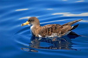 Scopoli's shearwater (Calonectris diomedea) on sea, reflected in water. Tenerife, Canary Islands. - Sergio Hanquet