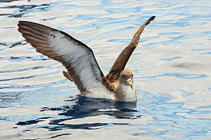 Scopoli's shearwater (Calonectris diomedea) on sea with wings stretched. Tenerife, Canary Islands. - Sergio Hanquet