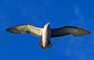 Scopoli's shearwater (Calonectris diomedea) in flight. Tenerife, Canary Islands. - Sergio Hanquet
