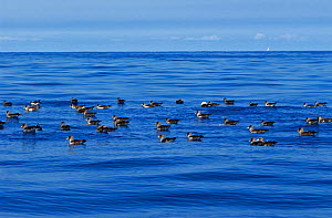 Scopoli's shearwater (Calonectris diomedea) group floating on sea. Tenerife, Canary Islands. - Sergio Hanquet