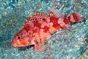 Scorpionfish (Scorpaena maderensis) resting. Tenerife, Canary Islands.  -  Sergio Hanquet