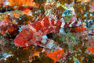 Scorpionfish (Scorpaena maderensis) resting cmouflaged on rock. Tenerife, Canary Islands.  -  Sergio Hanquet