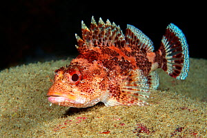 Scorpionfish (Scorpaena maderensis) resting on sand, on sea floor. Tenerife, Canary Islands.  -  Sergio Hanquet