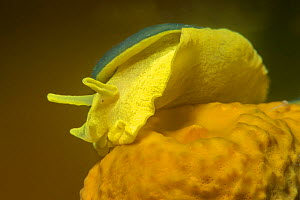 Yellow umbrella slug (Tylodina perversa) feeding on Golden sponge (Aplysina aerophoba). Tenerife, Canary Islands.  -  Sergio Hanquet