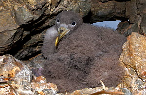 Scopoli's shearwater (Calonectris diomedea) chick on nest in rock crevice. Nature Reserve, Savage Islands, Madeira. - Sergio Hanquet