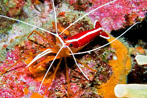 Red-backed cleaner shrimp (Lysmata grabhami). Tenerife, Canary Islands.  -  Sergio Hanquet