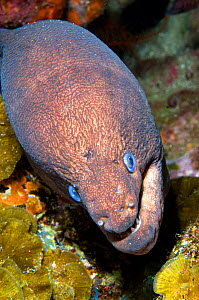Brown moray eel (Gymnothorax unicolor), view from above. Tenerife, Canary Islands.  -  Sergio Hanquet