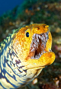 Fangtooth moray (Enchelycore anatina) with open mouth, portrait. Tenerife, Canary Islands. - Sergio Hanquet