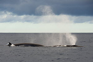 Bryde's whale (Balaenoptera brydei) blowing, exhaling air and water spray from blowhole. Tenerife, Canary Islands. - Sergio Hanquet