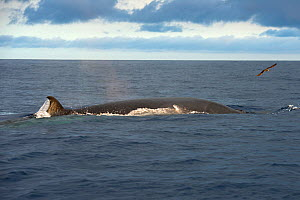 Bryde's whale (Balaenoptera brydei) fin visible at surface. Tenerife, Canary Islands. - Sergio Hanquet