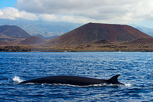 Bryde's whale (Balaenoptera brydei) fin at surface in coastal waters, volcano in background. Punta Rasca, Tenerife, Canary Islands. - Sergio Hanquet