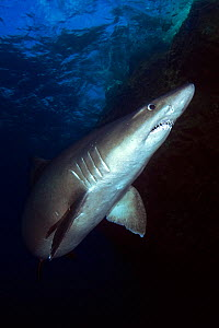 Smalltooth sand tiger shark (Odontaspis ferox), view from below. El Hierro. Canary Islands. - Sergio Hanquet