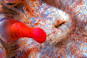 Club tipped anemone (Telmatactis cricoides) mouth and tentacle, close up. Tenerife, Canary Islands. - Sergio Hanquet