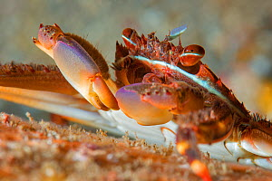 Sally lightfoot crab (Percnon gibbesi). Tenerife, Canary Islands. - Sergio Hanquet