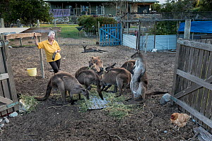 Wild Kangaroo Island Kangaroos (Macropus fuliginosus fuliginosus) gathering at the back gate of animal rescuer Sandy Carey's house for a free breakfast with her chicken. Some of these kangaroos ar...  -  Doug Gimesy