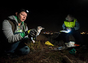 Volunteer researcher Natasha Fitzgerald from Earthcare St Kilda, holding a Little Blue Penguin (Eudyptula minor) just taken from its burrow whilst Zoe Hogg (right) - who has been leading the research...  -  Doug Gimesy