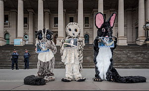 Three protesters from GECO (Goongerah Environment Centre Office) protesting against logging in East Gippsland on the steps of the Victorian Parliament??, Melbourne, Victoria, Australia. February, 2017...  -  Doug Gimesy