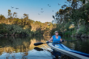 ?CEO of the Australian Conservation Foundation (ACF) Kelly O'Shanassy, paddling down the Yarra River, Melbourne, watching a colony of Grey-headed Flying foxes (Pteropus poliocephalus) that now liv... - Doug Gimesy