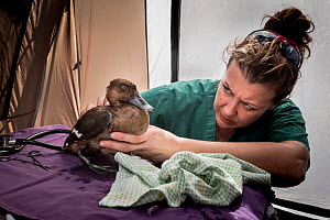 Veterinarian Natasha Bassett examining a female Hardhead Duck (Aythya australis) for shotgun wounds in a triage tent that has been set up on the banks of a lake during the opening of duck hunting seas...  -  Doug Gimesy