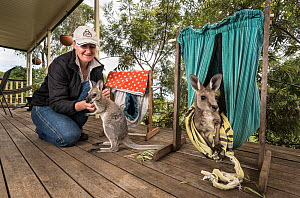 Wildlife carer Sonya Plant on her verandah with two young rescued Eastern Grey kangaroo joeys (Macropus giganteus). ??April, 2017, ?Linthorp, Queensland, Australia.? Editorial use only. - Doug Gimesy