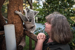 Wildlife rescuer and carer Clare Gover, watching a rescued Koala (Phascolarctos cinereus). ??April, 2017. ?Carbalah, Queensland, Australia. ? Editorial use only. N.B Clare passed away from cancer in J...  -  Doug Gimesy