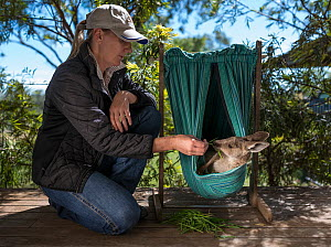 ?Wildlife carer Sonya Plant with a rescued Eastern Grey Kangaroo (Macropus giganteus) joey. ??April, 2017, ?Linthorp, Queensland, Australia.? Editorial use only. - Doug Gimesy
