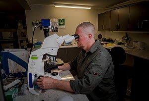 ?Veterinarian and koala expert, Jon Hanger from the Endeavour Ecology Center, looking at a slide with a Koala (Phascolarctos cinereus) blood sample. ?Toorbul, Queensland, Australia. ?April, 2017.  Edi...  -  Doug Gimesy