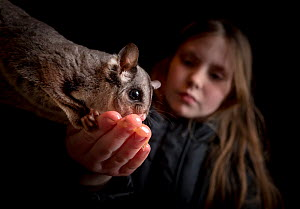?Tess Neal from the Conservation Ecology Centre giving one of their captive Sugar Gliders (Petaurus breviceps) some honey off her hands as a treat for dinner. ??July, 2017.? Conservation Ecology Centr...  -  Doug Gimesy