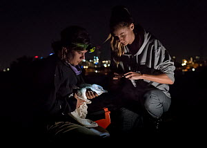 ?Researcher Ida Lundback (right), with the assistance of volunteer Naomi Wells (left), prepares to take a faecal sample from a captured Little Blue Penguin (Eudyptula minor) before returning it back t... - Doug Gimesy